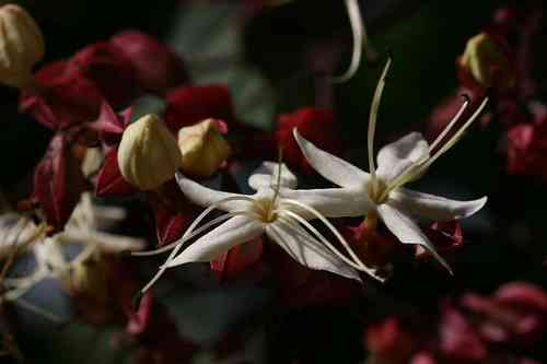 Clerodendrum trichotomum 30-40 cm