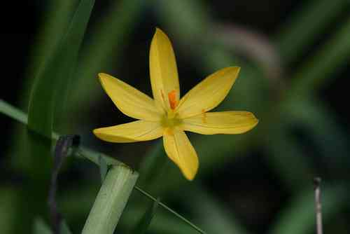 ​Sisyrinchium californicum 05-20 cm