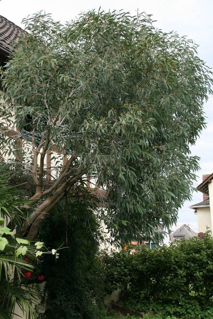 eucalyptus niphophila e pauciflora ssp niphophila. Black Bedroom Furniture Sets. Home Design Ideas