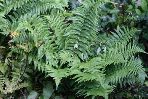 Dryopteris affinis Cristata The King 0-20 cm